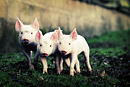 Three little piglets run across a muddy field